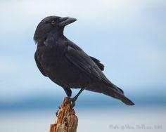 Crows: Smart? Devious? See http://www.SongbirdPhoto.com/wordpress/?p=1604
