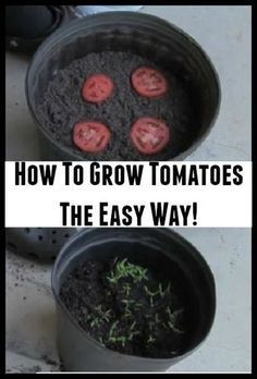 Ineffable Secrets to Growing Tomatoes in Containers Ideas. Remarkable Secrets to Growing Tomatoes in Containers Ideas. Growing Tomatoes In Containers, Growing Veggies, Growing Plants, How To Grow Plants, How To Grow Vegetables, Growing Cherry Tomatoes, Growing Tomatoes Indoors, Growing Seeds, Veg Garden