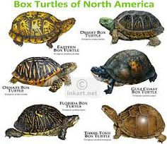 Box Turtles of North America Poster Print – Box Turtle Care Tortoise Care, Tortoise Turtle, Tortoise Habitat, Land Turtles, Box Turtles, Kinds Of Turtles, Reptiles And Amphibians, Mammals, Chelydra Serpentina