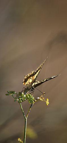 Macaone sardo - Sui bordi dello stagno di Sale Porcus - costa sud/sud-ovest - Nikon D700 con Nikon 200/400mm f/4 - iso 400 - focale 400mm - 17 Aug. 2014 - #guidofrilli - Papilio machaon Linnaeus, 1758