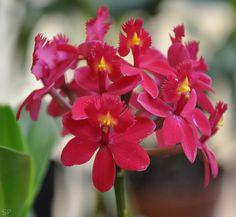 Epidendrum radicans - red form