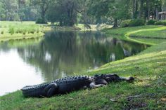 Hilton Head Island, Sea Pines, American Alligator