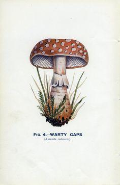 Vintage Botany Print 1926 Edible and Poisonous Fungi, Warty Caps Amanita rubescens, Fig.4, Mushroom, Fungus,  Natural History, Lithograph. £6.50, via Etsy.