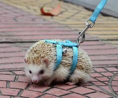 NEW Adjustable hedgehog Harness for Training Playing traction rope High Quality Baby Care baby hedgehog care Super Cute Animals, Cute Little Animals, Cute Funny Animals, Hedgehog Care, Cute Hedgehog, Hedgehog Pet Cage, Hedgehog House, Hedgehog Accessories, Dog Names