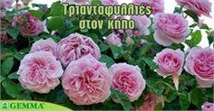 Τριανταφυλλιά: Oδηγός περιποίησης! Ikebana Arrangements, Backyard, Rose, Nature, Flowers, Plants, Diy, Gardening, Decoration
