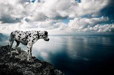 Dalmatian Dog Breed - Chasing the Donkey