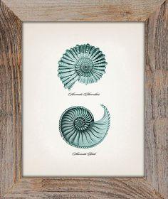Spiral Seashells Ammonites 8x10  Fine art by ThePrintedVintage, $11.50