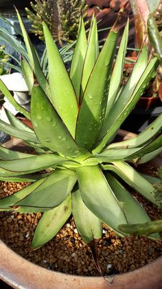 Agave romani shadow  dancer