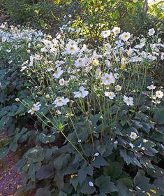 Anemone 'Honorine Jobert' in flower. Shade Garden, Garden Plants, Japanese Anemone, Peonies Garden, Flowers Garden, Chicago Botanic Garden, Herbaceous Border, Planting Plan, Gardens