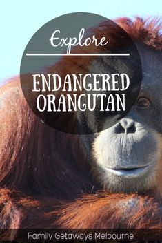 Endangered Orangutans at the Melbourne Zoo Melbourne Attractions, Man Made Environment, Melbourne Zoo, Orangutans, Family Getaways, Animal Species, School Holidays, Ropes