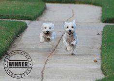 Great photo and so cute - Jack and Fran, West Highland terriers from Birmingham, Alabama