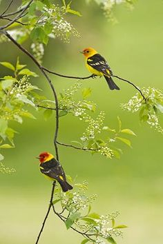 We saw these in MT.  Beautiful, vibrantly colored bird!  Spring Blossoms - Western Tanagers - THOMAS D. MANGELSEN'S | Images of Nature