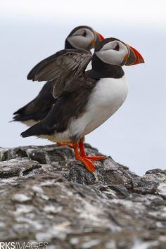 "Puffin Mom With Her Chick: ""In A Flap!"" (Photo By: Rose Smith.)"