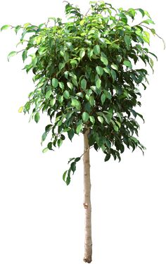 why does my ficus tree get yellow leaves causes ficus leaves to turn yellow over watering causes green leaves to fall off a ficus tree and - Ficus Trees
