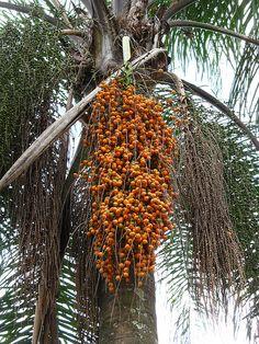 Jerivá (Syagrus romanzoffiana) fruits from Brazilian Queen Palm tree