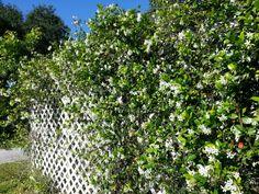 jasmine vines lattice
