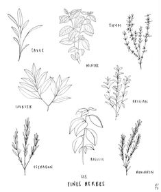 Herbs by KITO Kit Opatut. Herbs by KITO Ki Herbs Illustration, Botanical Illustration, Plants That Like Shade, Herb Tattoo, Plant Sketches, Bullet Art, Nature Drawing, Aesthetic Drawing, Bullet Journal Ideas Pages