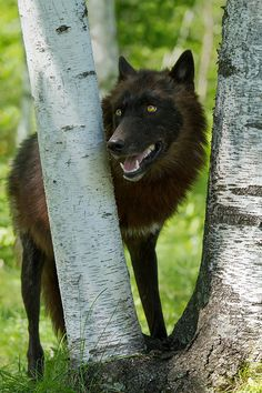 Black wolf (by debbie_dicarlo)