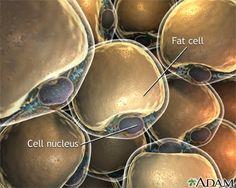 Lipocytes (fat cells)
