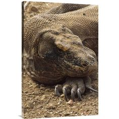 East Urban Home 'Komodo Dragon Male Basking, Komodo NP, Komodo Island, Indonesia' Photographic Print Size: