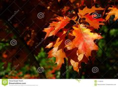 Red Oak Leaves Royalty Free Stock Photo - Image: 11190045