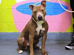 TO BE DESTROYED - 02/20/15 Brooklyn Center  My name is RICHARD. My Animal ID # is A1028073. I am a male gr brindle and white pit bull mix. The shelter thinks I am about 6 YEARS old.  I came in the shelter as a OWNER SUR on 02/16/2015 from NY 11213, owner surrender reason stated was PERS PROB.