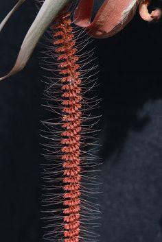 Oberonia species