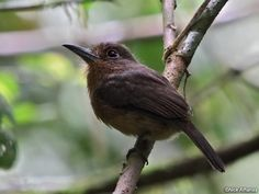 Brown Nunlet (Nonnula brunnea)  This cute puffbird is only found in the extreme western part of the Amazon in Ecuador, Peru, and Colombia.