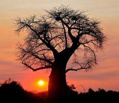 """Baobab árbol que aparece en """"El principito"""""""
