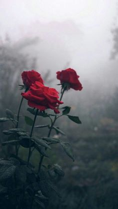 29 Ideas Photography Dark Blood For 2019 Rose Blood, Dark Blood, Beautiful Rose Flowers, Dark Flowers, Dark Pictures, Nature Pictures, Roses Tumblr, Bougie Rose, Indie