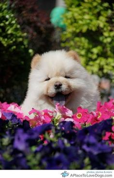 Happy Chow Chow with flowers Cute Puppies, Cute Dogs, Dogs And Puppies, Doggies, Lion Dog, Dog Cat, All Dogs, I Love Dogs, Chow Chow Dogs