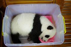 PANDAPIA Panda Panda, Panda Love, Panda Bears, Cute Panda, Baby Pandas, Giant Pandas, Red Pandas, Like Animals, Animals And Pets