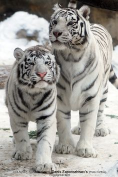 *White Tigers (by red-FeNIks)