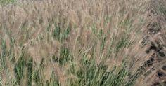 Pennisetum alopecuroides 'Reborn'