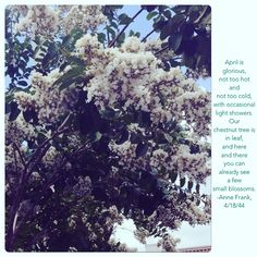 The beautiful chestnut tree, and it's already beautiful to see a few small blossoms. Anne Frank Quotes, Blossoms, Beautiful, Flowers, Florals