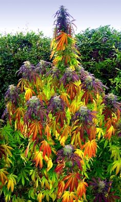 Now that's a trippy looking plant. ~ marijuanachecks.com ~ like our FB page at http://facebook.com/legalizationchecks