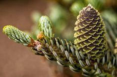 Purple conifer cones