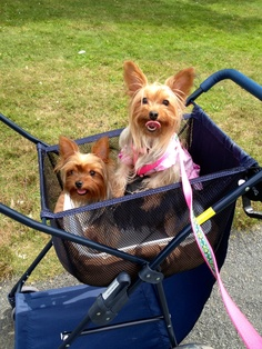 Doggie stroller...my Brody still recovering from a broken paw.. Bought a beach cart and turned it into a stroller so he can go on walks with his Betsy..<3