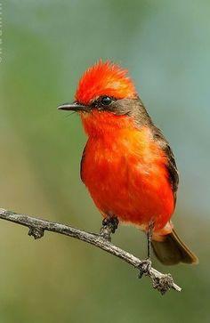 Rare Birds, Exotic Birds, Tropical Birds, Colorful Birds, Vermilion Flycatcher, Animals And Pets, Cute Animals, World Birds, Little Birds