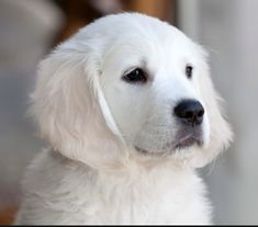 English Golden Retrievers, Breeder in California. View our Puppies and Dogs. We are in Northern California