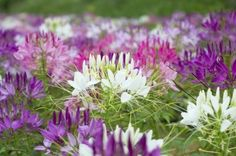 Cleome Spider Flower - How To Grow Cleome