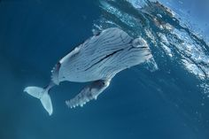 Close encounters with humpback whales while diving with Nai'a