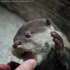 Carnivore Otter!