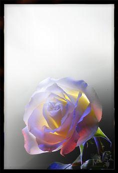 ~~ Rose (1) - LightGraphic. Flowers ~~
