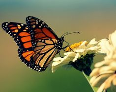 Monarch butterfly (Wings spread like this, & purple petals. I think this is it! May need to be tilted to fit in with my other flowers.)