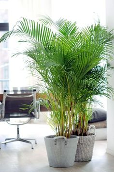 Areca Palm - WomansDay.com