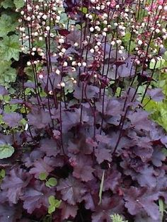Heuchera The 'Pewter Moon' i got this this summer. Have to remember it. This one was new to me.