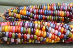 Conozca la variedad más colorida de maíz: Glass Gem