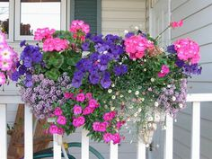 Growing Geraniums in Pots | Pink Seed Geraniums, Blue Picobella Petunias, Purple Alyssum, Spanish ...: