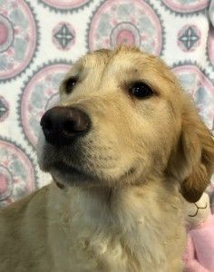 Adopt Chaka Khan On Pet Adoption Homeless Dogs Old Golden